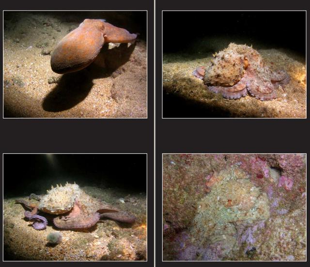 תמנון החוף בים התיכון