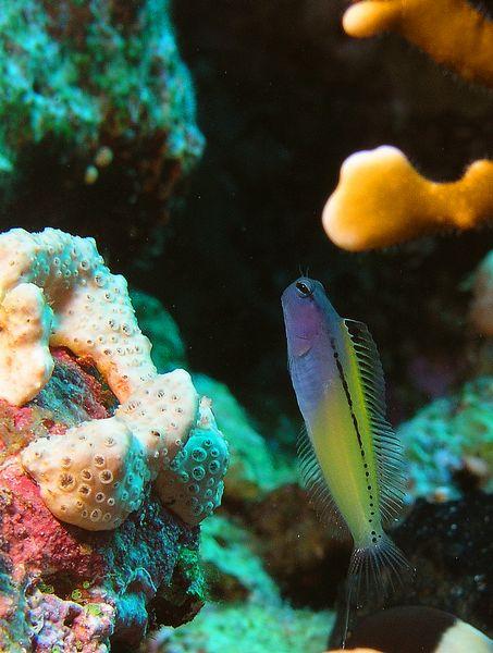 קרנונית חקיינית - מחקה דג ארסי