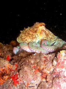 תמנון בצלילת לילה במערות חוף גורדון