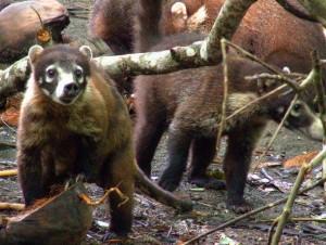 חוטמנים בשמורת קורקובדו בקוסטה ריקה