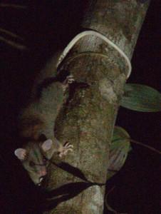 בעלי חיים בשמורת קורקובדו בקוסטה ריקה