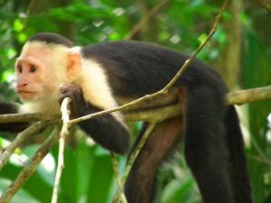 קוף קפוצי'ן בשמורת קורקובדו בקוסטה ריקה