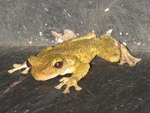 צפרדע מסיורי הלילה של אלי וירון