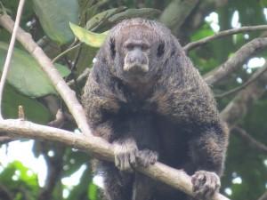 קוף סאקי נזיר
