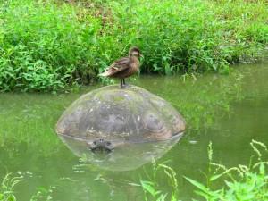 צבי ענק בגלפגוס, עם חבר