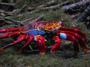 סרטן אדום Sally lightfoot crab
