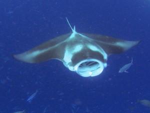 צלילה באיי פלאו