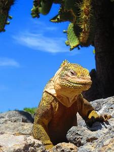 איגואנה יבשתית באי פלזה הדרומי באיי גלפגוס