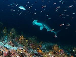 כריש פטיש (פטישן) בספארי צלילה בגלפגוס