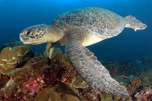 צב ים באיי גלפגוס