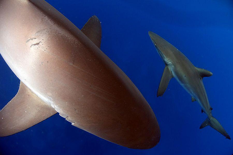 כריש סילקי בגלפגוס