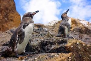 פינגווין גלפגוס
