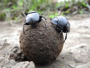חיפושיות זבל בסרנגטי