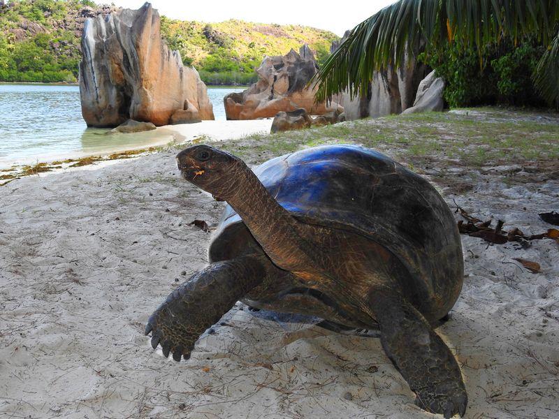 צב אלדברה ענקי באיי סיישל